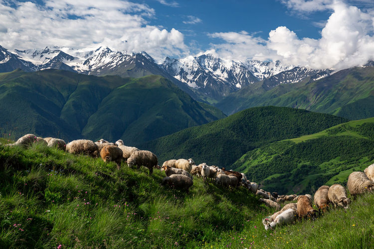 Sheep graze in the mountains. scenic view of landscape and mountains against sky.