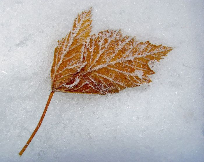 cold leaf Close-up Cold Temperature Dry Fall Leaf Frozen Nature High Angle View Leaf No People Portrait Season  Snow