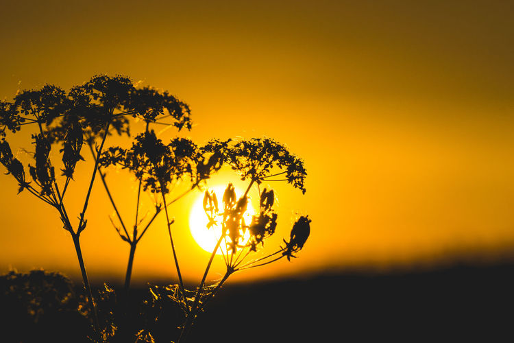 Sunset Sky Beauty In Nature Plant Orange Color Growth Silhouette Scenics - Nature Tranquility Nature Tranquil Scene Sun No People Yellow Idyllic Field Flower Focus On Foreground Sunlight Flowering Plant Outdoors EyeEm Best Shots EyeEm Selects EyeEm Nature Lover EyeEm Gallery My Best Photo