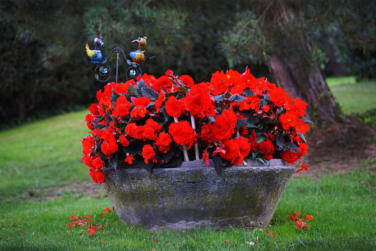 Begonia Flower Garten Pflanze Natur Landlust Pflanzenwelt Wiese  Beauty In Nature Close-up Day Flower Flower Head Fragility Freshness Grass Growth Nature No People Outdoors Plant Red Statue