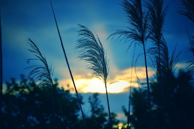 EyeEm Nature Lover EyeEm Gallery Eye4photography  EyeEm EyeEmBestPics EyeEm Best Shots - Nature EyeEm Best Shots Eye Em Nature Lover Beauty In Nature Sunset Silhouette Blue Rural Scene Sky Close-up Plant