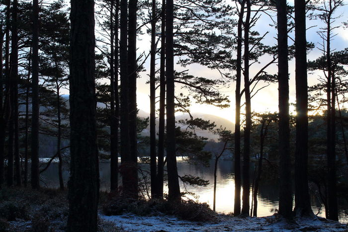 Frost Loch An Eilein Pine Forest Scotland Shades Of Winter Beauty In Nature Day Forest Forest Fire Growth Landscape Nature No People Outdoors Scenics Scots Pine Sky Snow Tranquil Scene Tranquility Tree Tree Trunk WoodLand