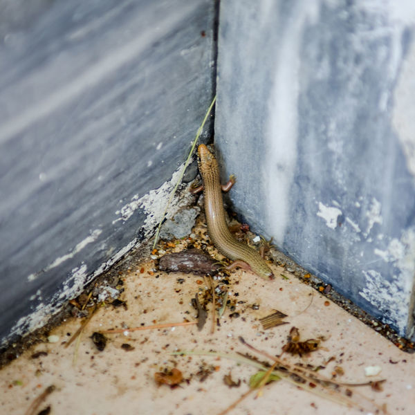 Lizard Lizard Animal Themes Animal Wildlife Animals In The Wild Close-up Corner Day Insect Nature One Animal Outdoors Reptile