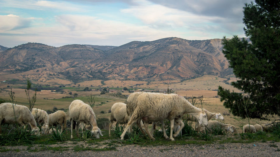 Sheep grazing on field against mountains