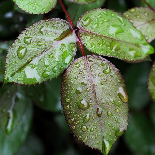 Raindrops on Roses Canon EOS 60D Leaf Plant Part Growth Plant Green Color Beauty In Nature Close-up
