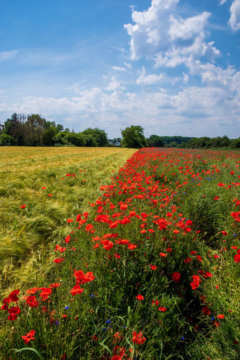 Scenic view of red flowering plants on field against sky