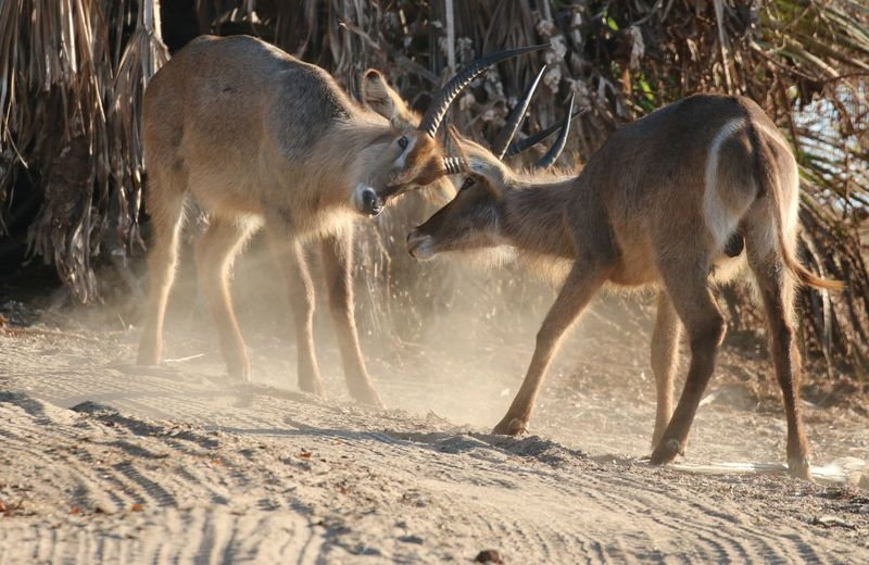 Two antelope fighting