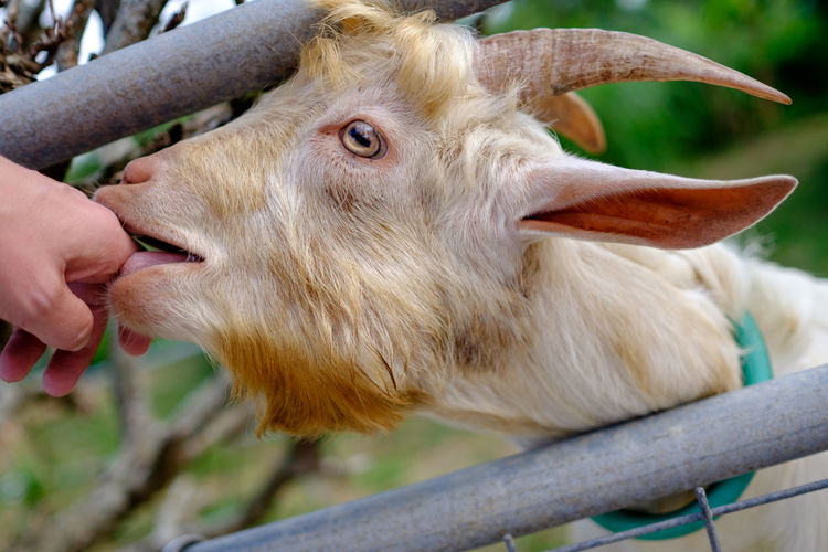 Close-up of goat licking person hand
