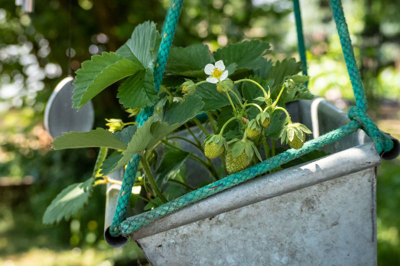 Beauty In Nature Blooming Blossom Creative Gardening Day Flower Pot Flowering Plant Focus On Foreground Freshness Garden Green Color Growing Strawberry Growth Leaf Metal Nature No People Not Ripe Outdoors Plant Plant Part Potted Plant Strawberry Strawberry Blossom Strawberry Growing