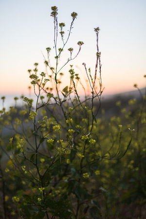 Black Mustard at twilight Beauty In Nature Black Mustard Close-up Flower Focus On Foreground Glow In The Dark Hills Hillside Nature Nature Ocean View Orange Glow Outdoors Outdoors Photograpghy  Pink Glow In The Sky Plant Shallow Depth Of Field Silhouette Sky Sunset Tranquility Twilight Wildflower Yellow Yellow Flower