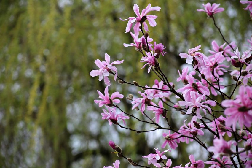Landscape Nature Fragility Scenics Springtime Beauty In Nature Magnolia Stellata Blossom Magnolia Tree Magnolia Loebneri Almond Tree Pink Color Branch Magnolias Blooming Magnolienknospe Growth Cloud - Sky Close-up Plant Freshness