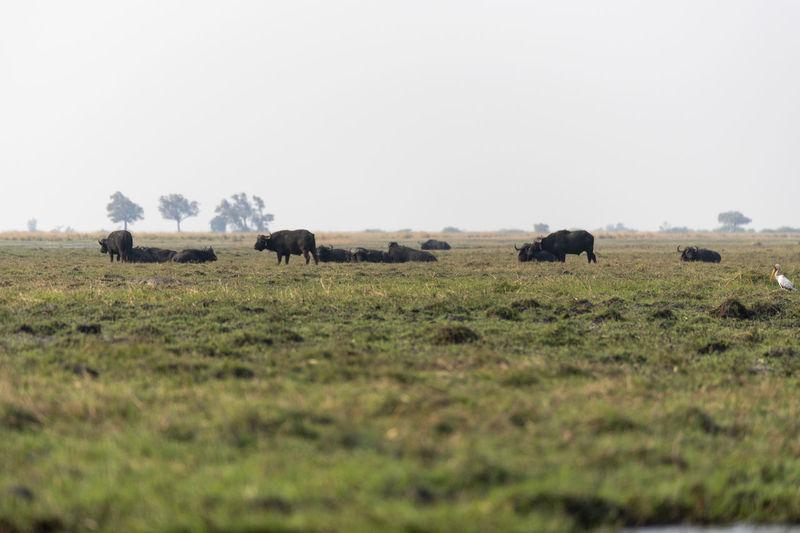 Buffalos grazing in a field