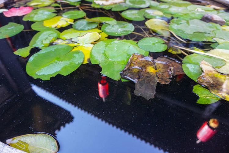 平遥古城 Leaf Plant