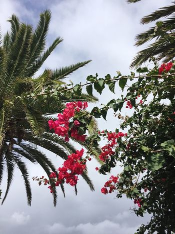 Buganvilla Buganvílias Buganville Buganbilias Flowers Flower Against Sky Palm Trees Palm Nature Red Red Flower Hello World Taking Photos AMTPt_community Taking Photos Tenerife
