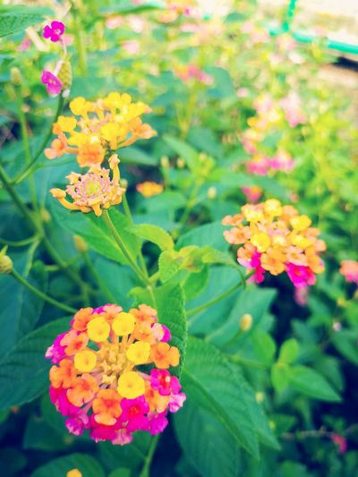 Flower Plant Lantana Nature Beauty In Nature Outdoors Multi Colored Day Fragility Leaf Pink Color Lantana Camara Freshness No People Backgrounds Freshness Wallpapers สวยงาม น่ารัก กลิ่นอันหอมหวาน Nature Growth Flower Head Yellow Close-up