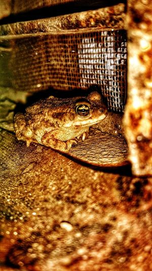 EyeEmNewHere One Animal Close-up Frog Frog Perspective Froggy!!!