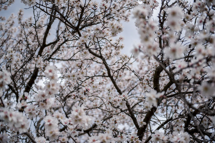 Flowering Plant Plant Flower Freshness Fragility Tree Blossom Cherry Blossom Growth Branch Nature Springtime Cherry Tree No People Outdoors Almond Tree Almond Blossom Blooming Beauty In Nature Vulnerability  Low Angle View White Color Day Flower Head Spring