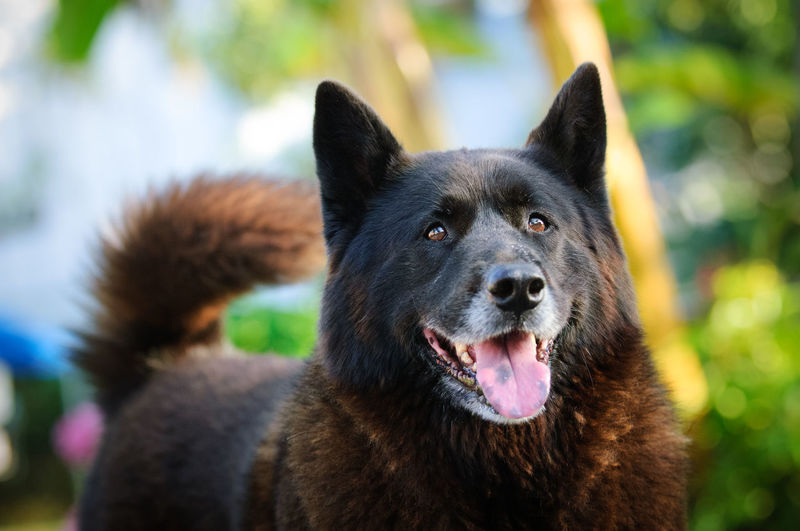 Akita Dog Black One Animal Animal Animal Themes Canine Mammal Pets Domestic Domestic Animals No People Focus On Foreground Close-up Portrait Purebred Dog Mouth Open Animal Head  Day