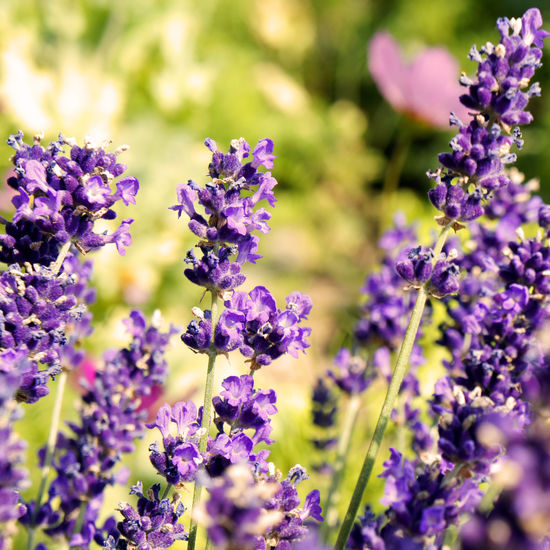 Herbs Lavendelblüte Provence Smmer Flowers Summertime Beauty In Nature Blooming Close-up Day Flower Flower Head Fragility Freshness Growth Heilkräuter Lavendel Lavendelduftnote Lavender Lavender Colored Nature No People Outdoors Plant Purple Selective Focus