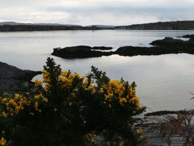 Wild gorse bush beside an unusually calm Atlantic ocean Gorse Gorse Bush Gorse Flowers Ocean Oceanside Spring Spring Flowers Calmwater Nature Scenics Beauty In Nature Outdoors No People Day Mizen Peninsula West Cork Wildatlanticway Ireland