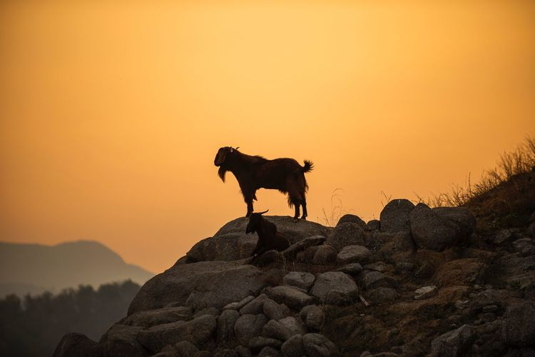 Goat at Sunset Animal Goat Mammal Domestic Animals Sky Animal Themes Animal Pets Domestic Sunset Rock Mountain Orange Color Rock - Object Silhouette Beauty In Nature Solid Nature No People Clear Sky