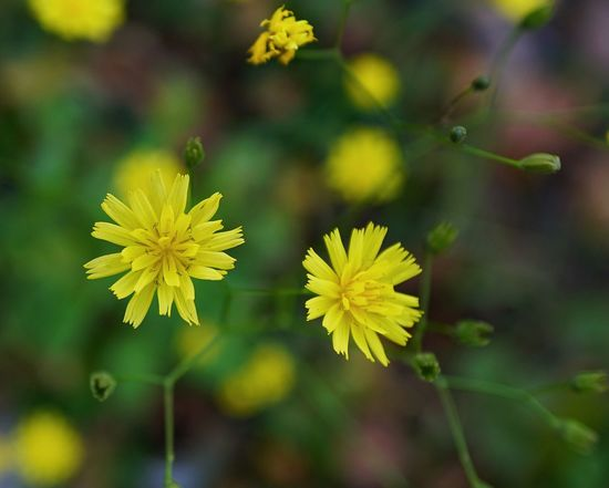 Flower Yellow Leaf Nature Plant Outdoors Focus On Foreground Flower Head Fragility Green Color Day Beauty In Nature Close-up Multi Colored Autumn Freshness No People Plant Part Sal24f20z Lombardia, Italy Luca Riva Sony A7r2 Lucariva A7r2 Macroworld