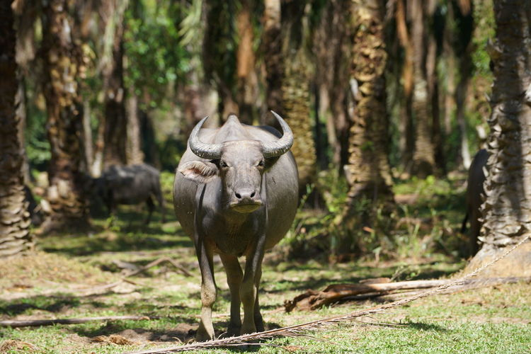 Buffalo standing in forest
