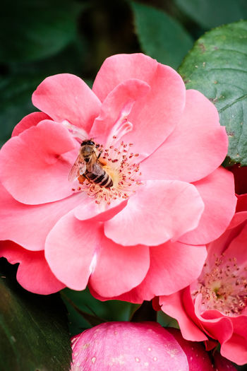 Bees Bees And Flowers Green Nature Plant Plants Bee Close-up Colorful Flora Flower Flower Collection Flower Head Flowers Fragility Garden Insect Leaves No People One Animal Petal Pink Color Pollination Rose - Flower Roses🌹