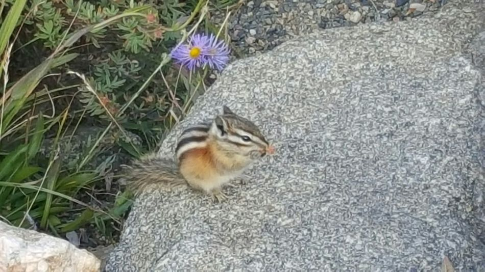 Chipmunk Chipmunk Flowers Rocks Colorado Samsung Galaxy S6 Edge Samsungphotography Nature Check This Out Mountains Flower Animals