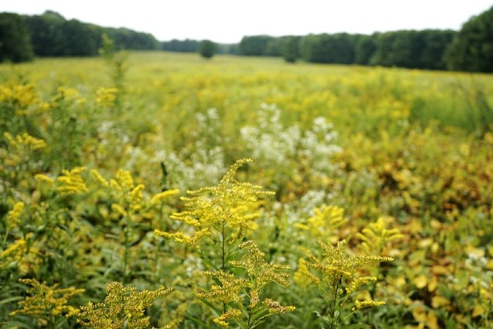 Golden field Nature Photography Nottawasaga Ontario Plantshit Goldenrod Plants Fields Nature Wildflowers
