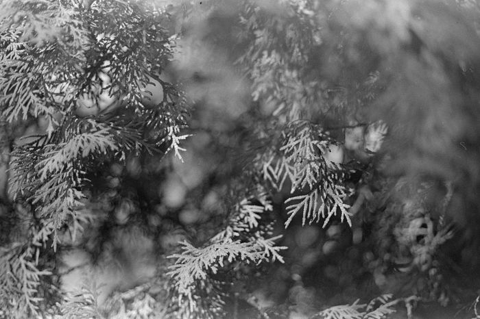 35mm Film Analogue Photography Beauty In Nature Caffenol Canon AE-1 Close-up Day Film Photography Ilford HP5 Plus Nature No People Outdoors Plant Tree
