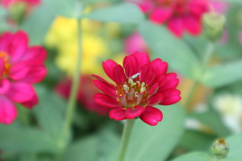 Backgrounds Beauty In Nature Blooming Close-up Day Flower Flower Head Fragility Freshness Growth Nature No People Outdoors Petal Pink Color Plant Red Zinnias, Flowers
