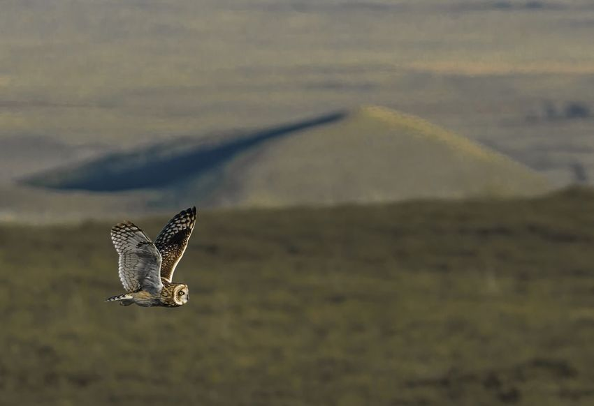 Sunset hunt on the slopes of Mauna Kea Hawaii Animal Wildlife Animals In The Wild Animal Themes Animal One Animal Flying Bird Spread Wings No People Nature Focus On Foreground Outdoors Bird Of Prey Landscape Beauty In Nature Animal Wing Owl Mauna Kea