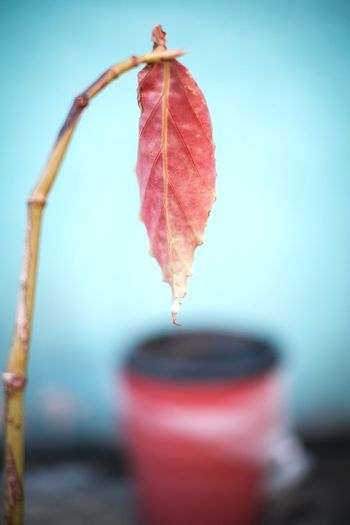 Water Red Leaf