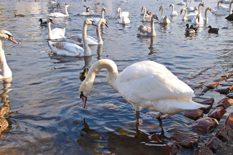 Water Bird Vertebrate Animal Animals In The Wild Group Of Animals Animal Wildlife Animal Themes Large Group Of Animals Nature No People White Color Beauty In Nature Day Reflection Zoology Swan Waterfront River
