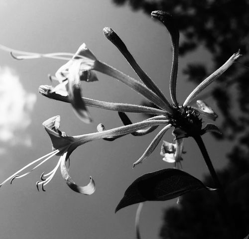 Black And White Photography Black And White Flowers Honeysuckle Flower Collection Bloom Honey Suckles Honey Suckle Flower In Macro Macro Nature Flower From My Point Of View From Where I Stand Simple Things In Life Flower Head Flora Wildflowers Flower Photography Close Up Flower Simple Beauty Flowers Honeysuckle Flower My Point Of View Black And White Collection  Black And White Nature Nature Photography