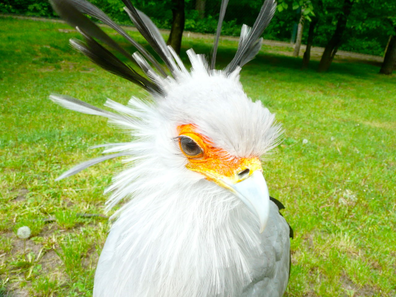 bird, one animal, animal themes, white color, grass, animals in the wild, field, animal wildlife, outdoors, beak, close-up, nature, day, beauty in nature, no people, domestic animals