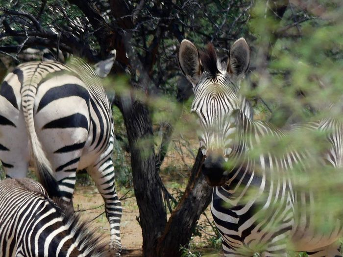 EyeEmNewHere Animal Themes Animal Wildlife Animals In The Wild Beauty In Nature Close-up Day Mammal Nature No People Outdoors Striped Tree Zebra