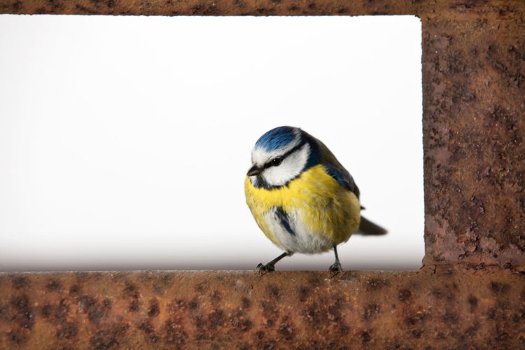 Close-up of great tit on rusty metal against white background