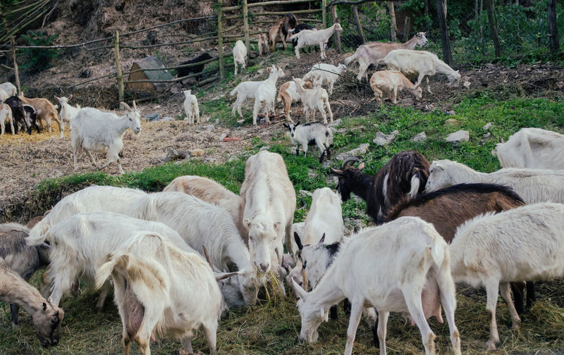 Animal Family Beauty In Nature Day Field Grass Grazing Herbivorous Landscape Livestock Mammal Medium Group Of Animals Nature No People Outdoors Sheep Young Animal Zoology Neighborhood Map