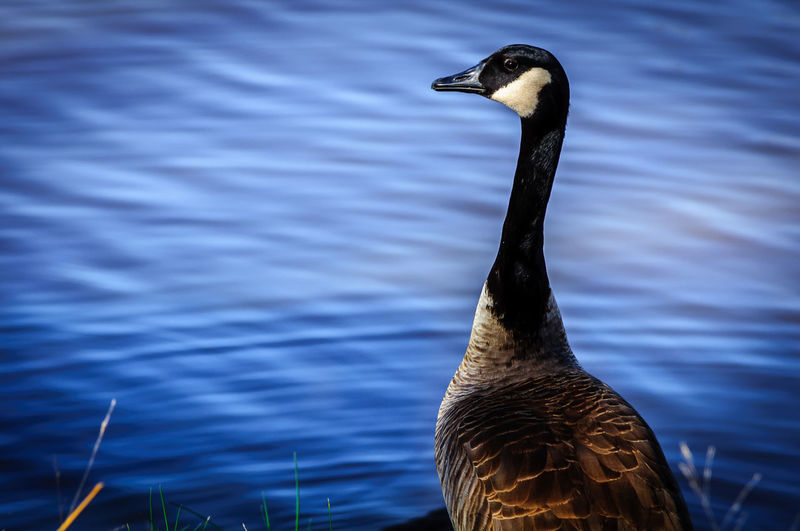 Close-up of canada goose against lake