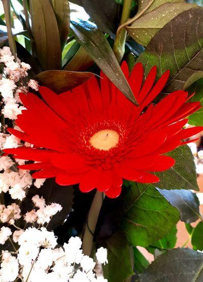 Gerbera Flower Gerberaflower Flower Head Flower Poppy Red Petal Blossom Stamen EyeEmNewHere