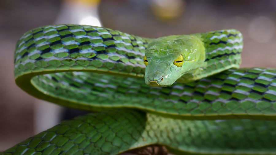Close-up portrait of green snake