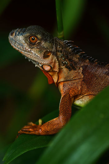 Red Iguana Green Iguana Pet Portraits Red Animal Themes Animals In The Wild Close-up Day Leaf Lizard Nature No People One Animal Outdoors Red Iguana Reptile