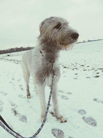 One Animal Animal Themes White Background Outdoors Dogs Of EyeEm Dog Of The Day Dogs Of Winter Dogslife Irish Wolfhound Cearnaigh Dogwalk The Places I've Been Today Winter Wonderland January 2017 Winter 2017 It Is Cold Outside How Is The Weather Today? Dog Landscape Weather Cold Temperature Snow Portrait Looking At Camera Field