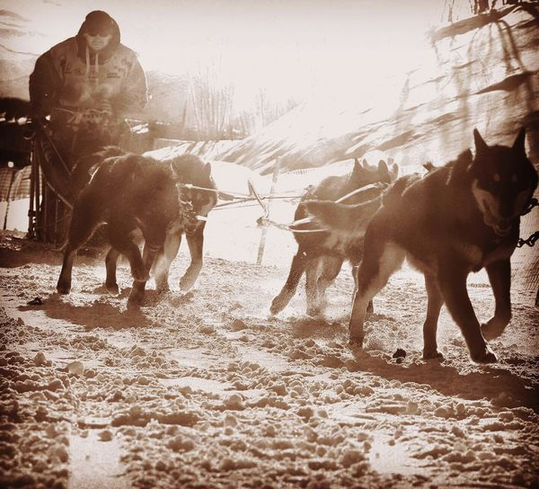Kamchatka Russia Berengia Dog Race Dog Racing Dog Sport Husky Laika Winter Domestic Animals Festival Working Animal Outdoors Nature Running Snow Cold Temperature Dog racing during the yearly winter festival Berengia, Petropavlovsk-Kamchatsky, Russia Sepia