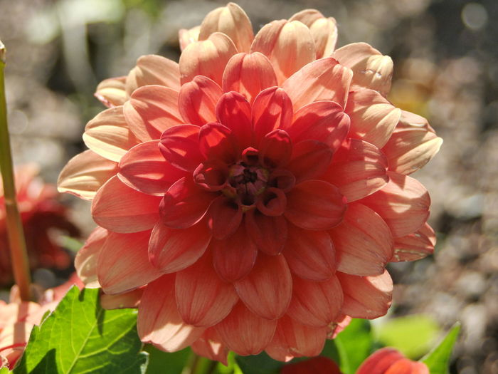 Beauty In Nature Blooming Close-up Dahlia Day Flower Flower Head Focus On Foreground Fragility Freshness Growth Nature No People Outdoors Petal Plant Red Zinnia