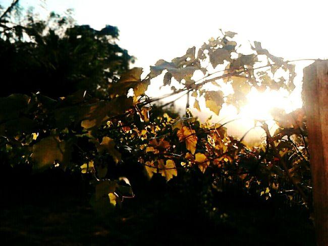Uvas Manhã De Sol Parreiras Grama Sol Luz Do Sol Grape Sun Meu Mundo Sky Nature Natureza Sunlight Relaxing
