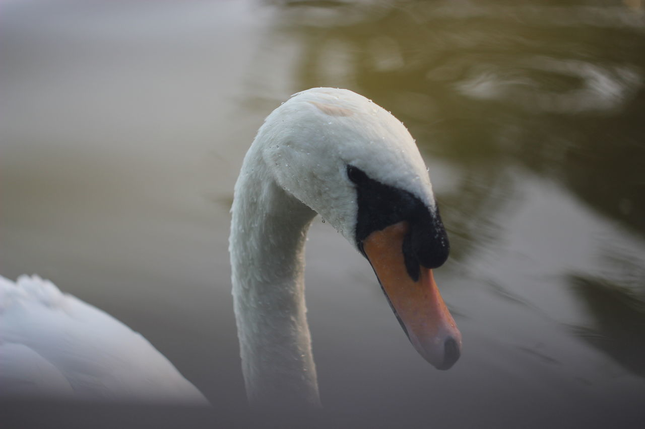 animals in the wild, one animal, animal themes, bird, swan, beak, animal wildlife, lake, water, water bird, swimming, no people, day, nature, focus on foreground, outdoors, close-up