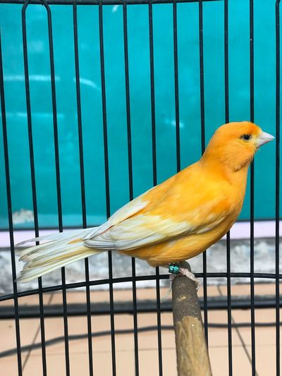Yellow canary EyeEm Selects Vertebrate Animal Animal Themes Animal Wildlife One Animal Bird Outdoors Yellow Cage Nature Animals In Captivity Animals In The Wild Parrot Close-up Perching Railing No People Metal Water Day